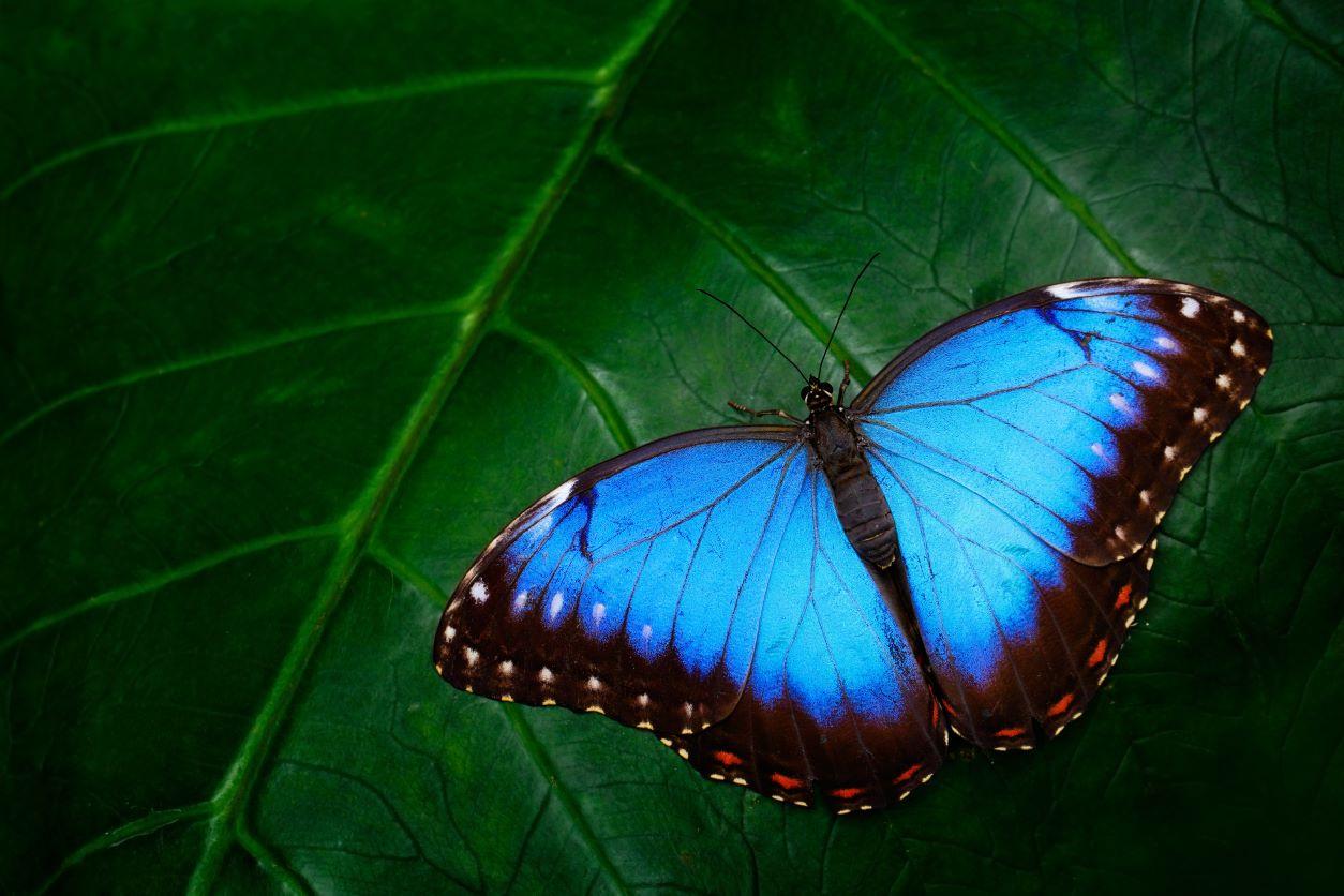 11Blue morpho butterfly on a leaf